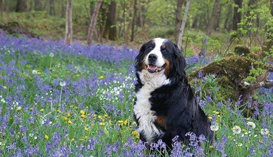 Berner Sennenhund mit blauen Blumen