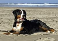 Berner Sennenhund am Strand