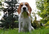 Beagle im Wald