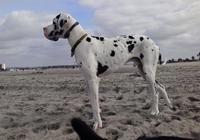 Deutsche Dogge am Strand