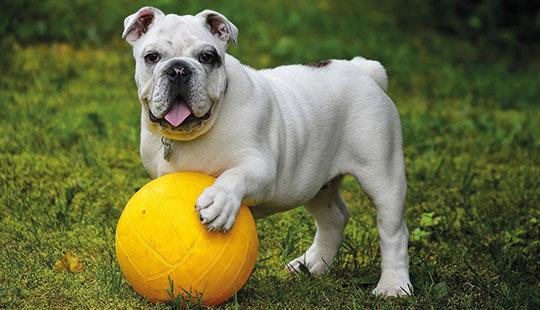 Englische Bulldogge mit Ball