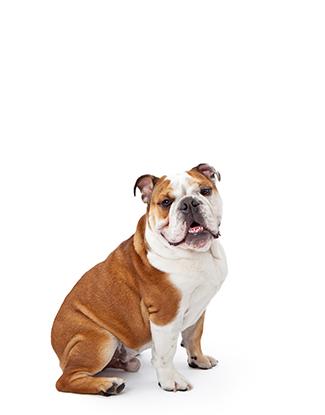 Portrait einer Englischen Bulldogge