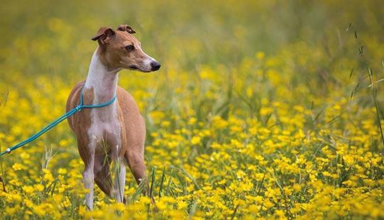 Italian Greyhound beim Spaziergang