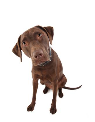 Portrait eines Labrador Retrievers