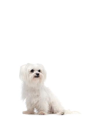 Portrait eines Maltesers