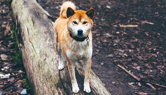 Shiba Inu beim Spaziergang