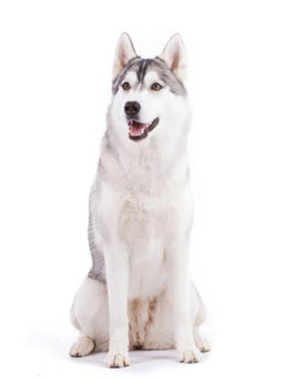 Portrait eines Siberian Huskys