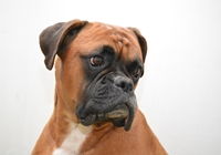 Kopf eines Deutschen Boxers