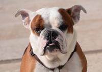 Englische Bulldogge in Braun-Weiß