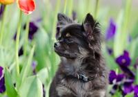 Chihuahua vor Blumenbeet