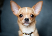 Kopf eines Chihuahuas
