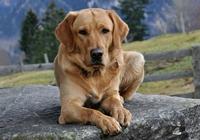 Labrador in den Bergen