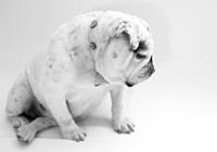 Englische Bulldogge in Schwarz-Weiß