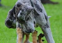 Deutsche Dogge am Spielen
