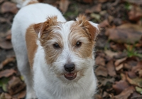 Jack Russell im Wald