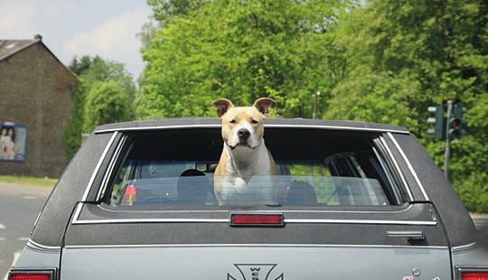 pitbull_head_out_of_car