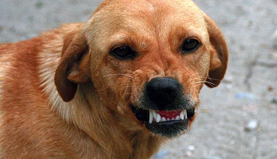 Hund Zähnefletschen