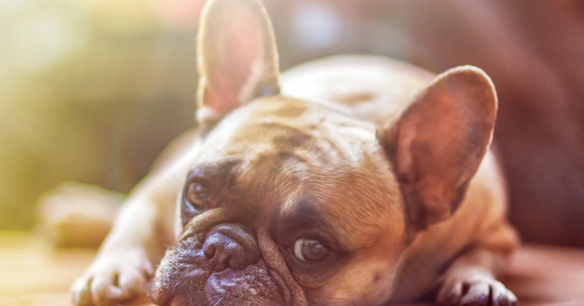 Französische Bulldogge Charmeur Mit Stupsnase Hundelandde